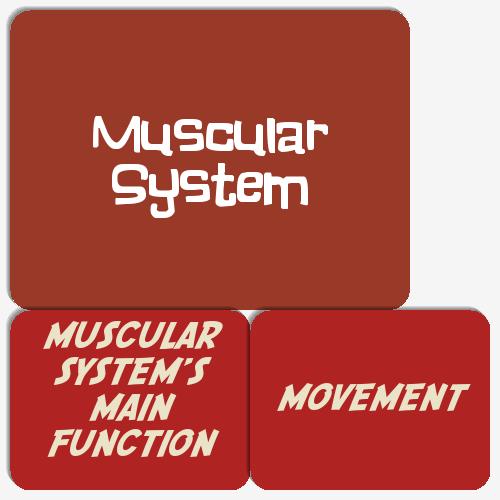 Muscular System by Baumann